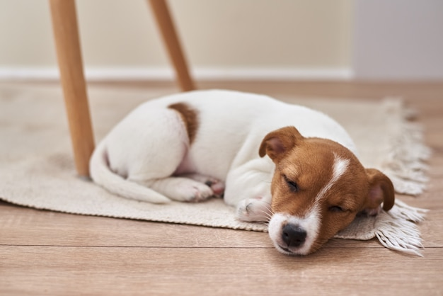 Sleeping jack russel terrier puppy dog on the floor, close up