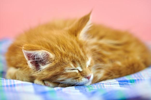 Sleeping maine coon red kitten