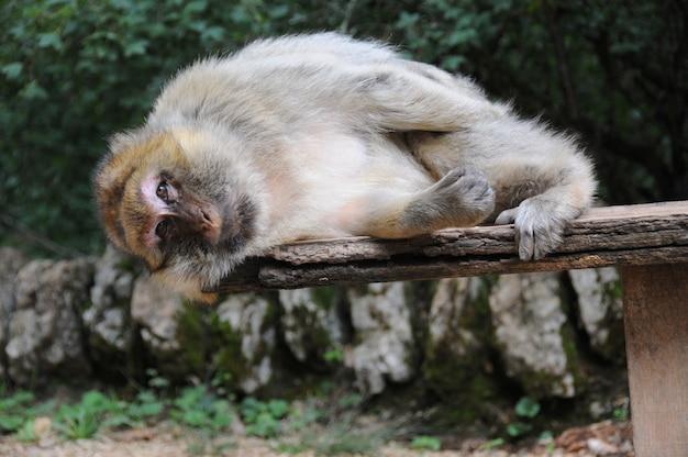 眠っている猿