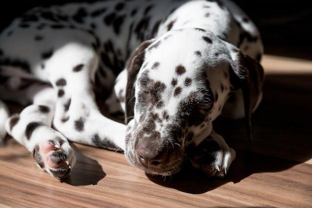 Спящий на полу щенок далматина. милый молодой портрет белой коричневой гонки собаки. прекрасный любимчик. собака породы далматин отдых под солнечным светом. животное в возрасте 2 месяцев