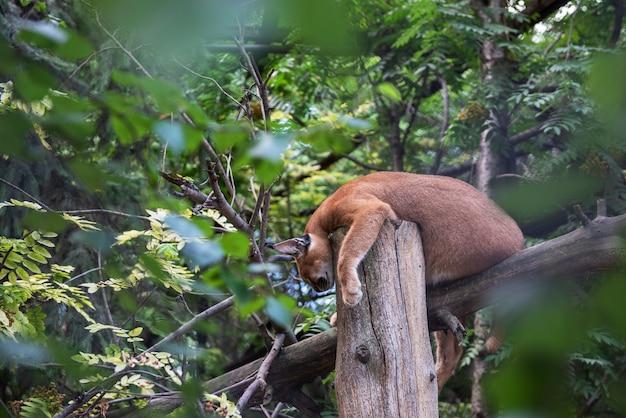 木の上で眠っているプーマ