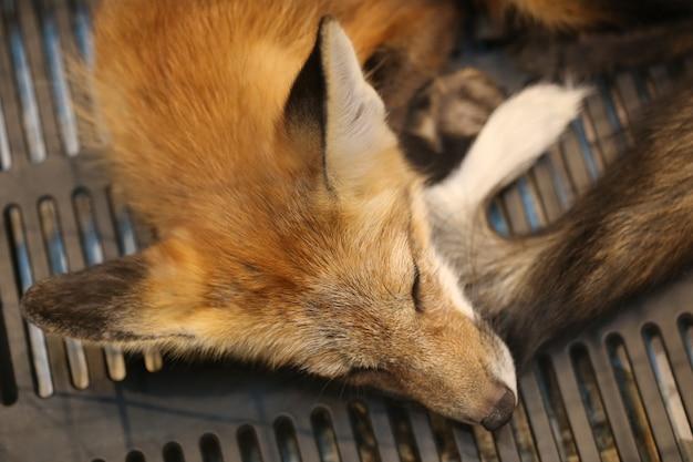 Sleeping red fox, head