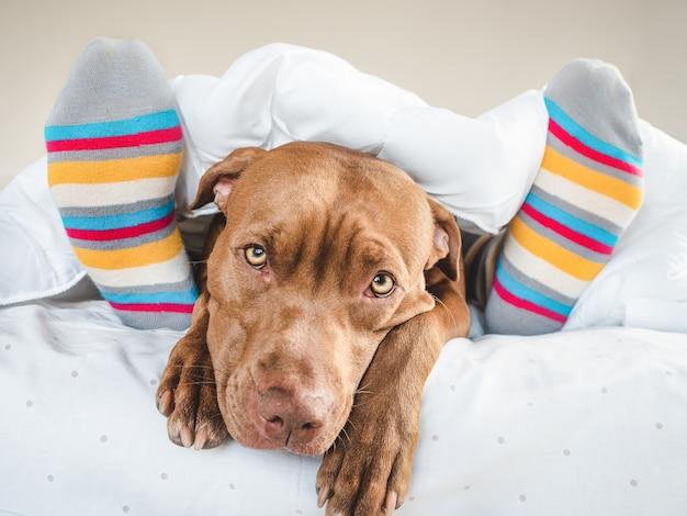 다채로운 양말 옆 침대 안에 졸린 갈색 강아지