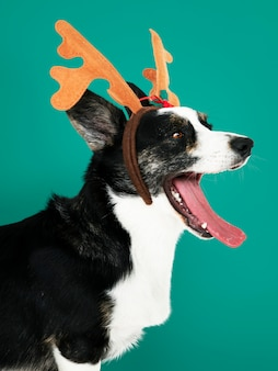 Sleepy cardigan welsh corgi dog wearing antlers