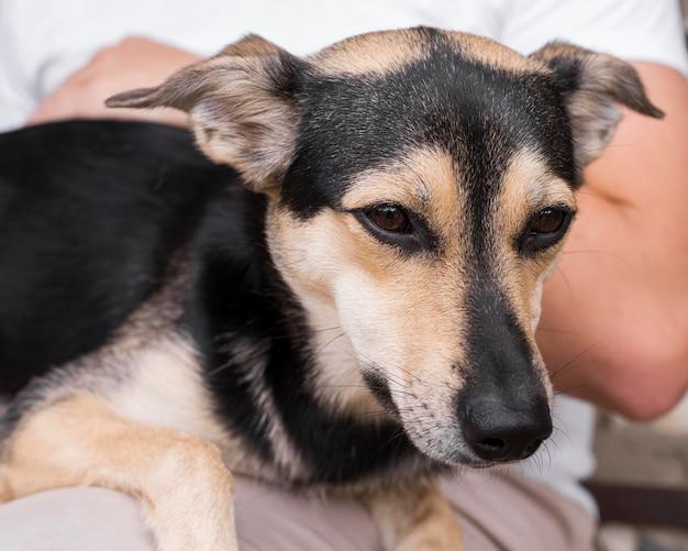 Сонная собака сидит на коленях человека