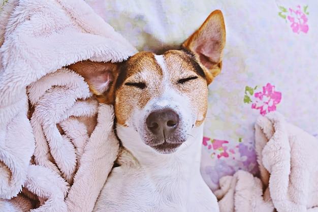 Sleepy jack russell terrier in blanket on bed