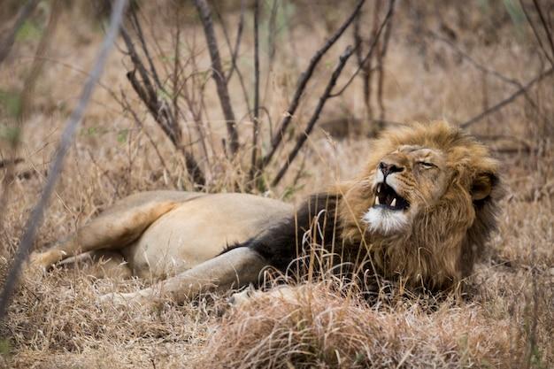 茂みの中で眠っている眠そうなライオン。南アフリカ。
