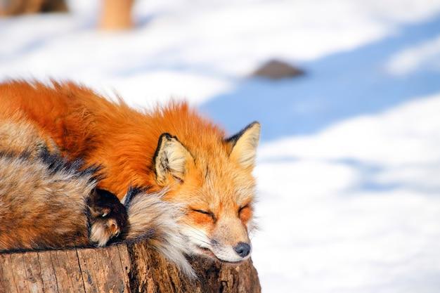 冬の雪の中で眠くて赤いキツネ