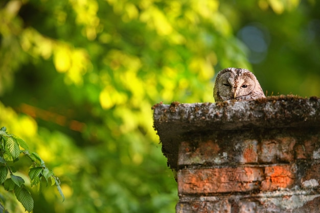 田舎の古い煙突から覗く眠そうなモリフクロウ