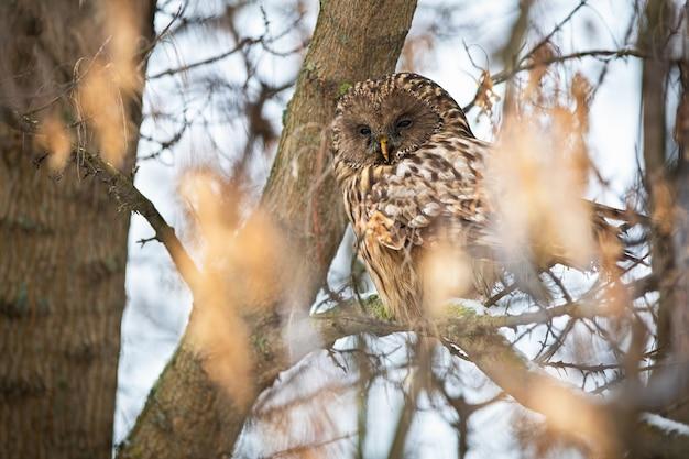 眠そうなフクロウ、strix uralensis、冬の自然の中で木の上に座って