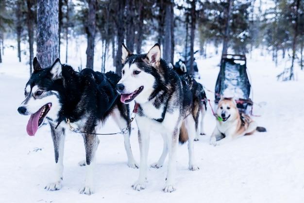 Sleigh at sled dog