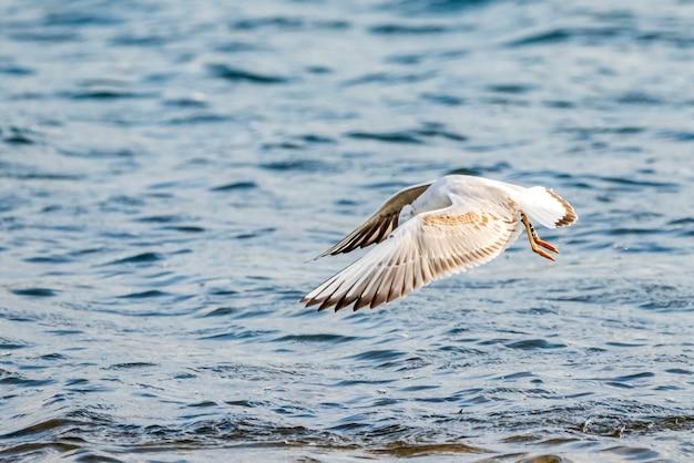 발렌시아 자연 공원의 albufera에서 날아 다니는 날씬한 갈매기