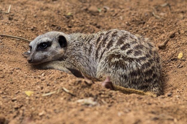 날씬한 꼬리 미어캣, suricata, suricatta