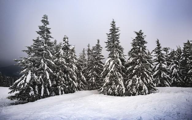 Стройные высокие елки со снежными ветками стоят посреди холодной зимы