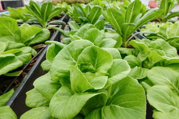 Slettuce野菜サラダ衛生的な有機植物水耕栽培農場。