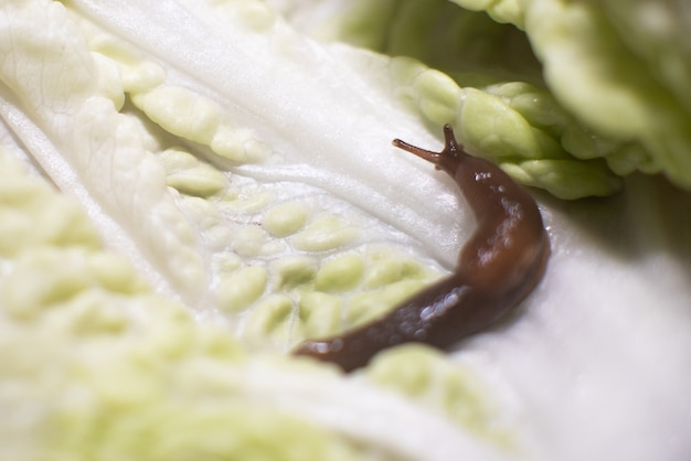 Slime on a sheet of beijing cabbage, with the horns raised. for any purpose.