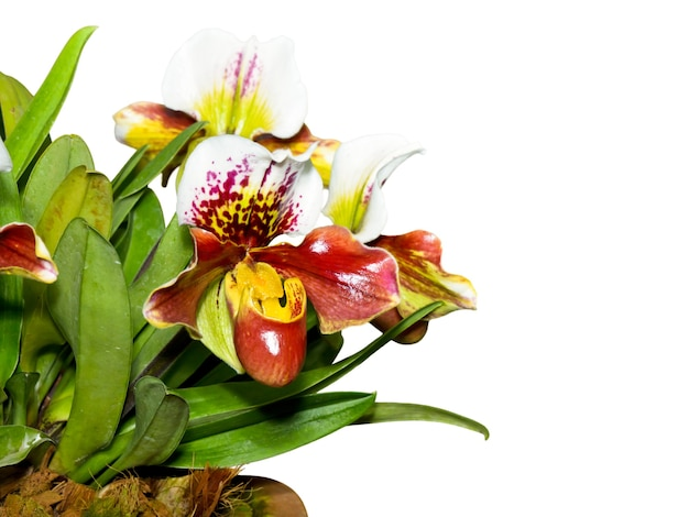 アツモリソウ(paphiopedilum)、白い背景にエキゾチックで珍しい形の花を持つ植物相