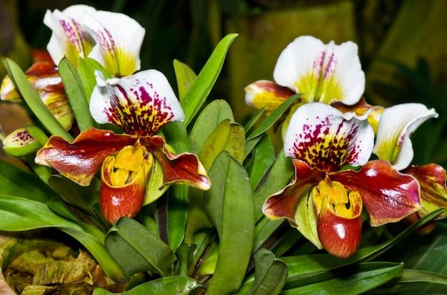 アツモリソウ(paphiopedilum)、エキゾチックで珍しい形の花を持つ植物相。