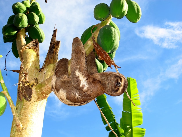 Sloth on amazon river, peru, south america