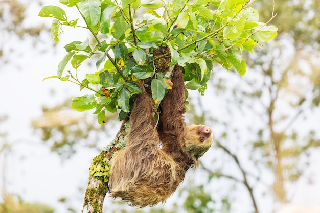 The sloth on the tree in costa rica, central america