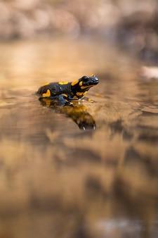Медленный огонь саламандра отдыхает в воде с размытым берегом реки в фоновом режиме