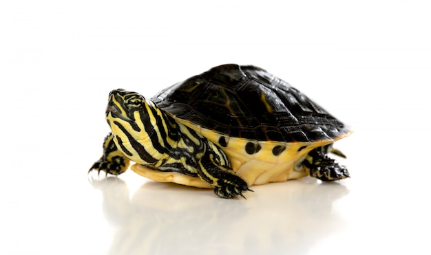 Slow pet. a turtle looking up isolated on a white background