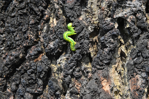 The slowing movement of a green caterpillar on the wooden bark