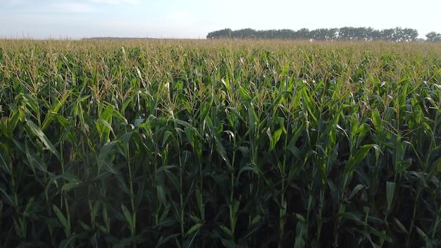 옥수수 밭 위로 천천히 올라갑니다.