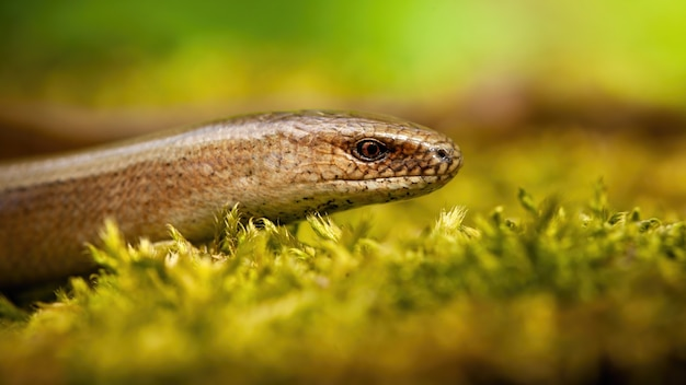 Slowworm looking on moss in spring sunlight from close up