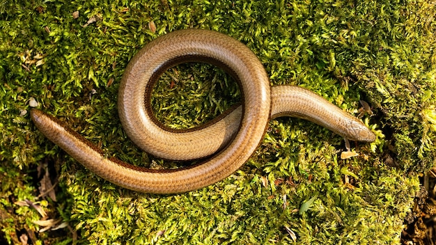 Slowworm twisted on mossed stone in sunlight from above