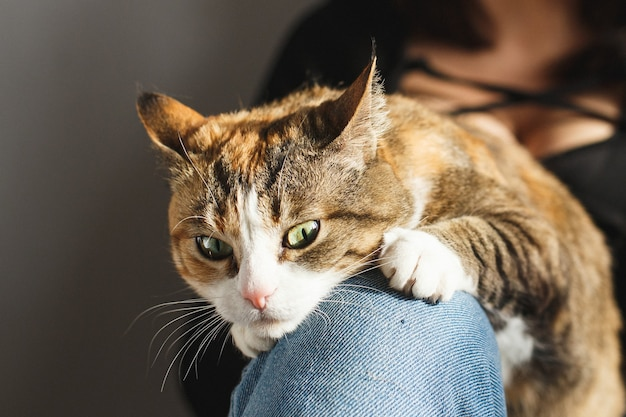 Sly ginger cat lying on owners knees at home