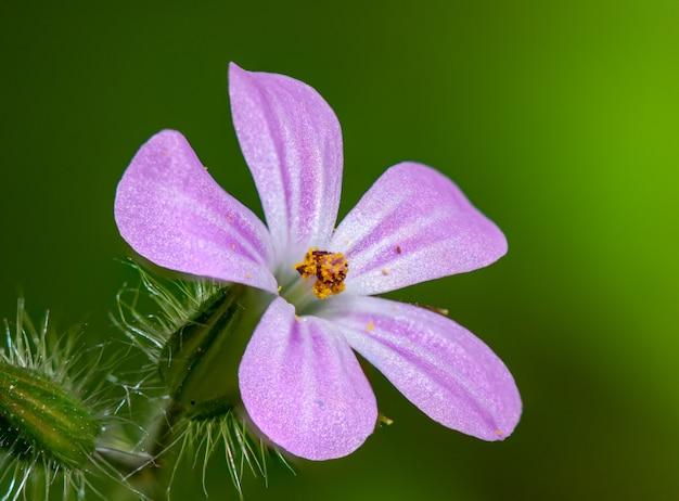 Маленький розовый цветок травы-роберт