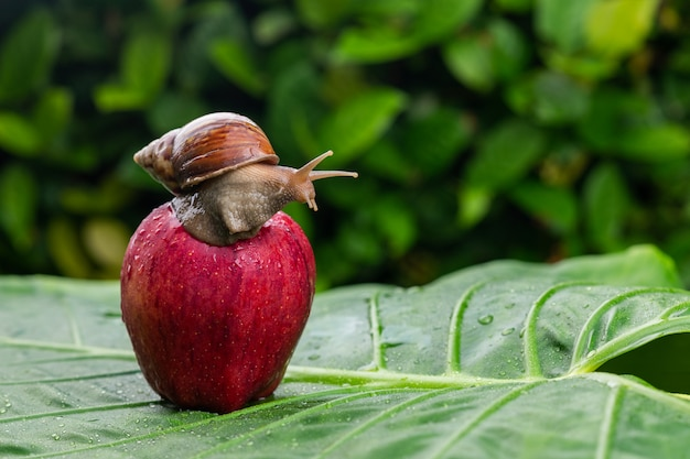 A small achatina snail with a brown shell crawling on a wet bright red apple lying on a wet green leaf among greenery close-up