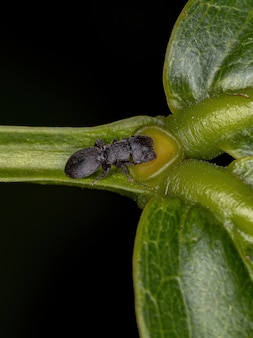 Small adult black turtle ant of the genus cephalotes eating on the extrafloral nectary of a plant