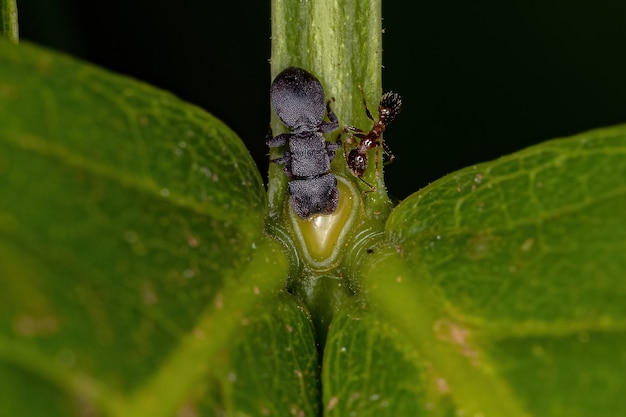 Small adult black turtle ant of the genus cephalotes and a myrmicine ant of the subfamily myrmicinae eating on the extrafloral nectary of a plant
