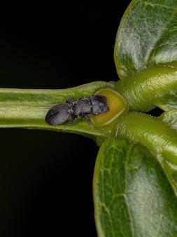 작은 성체 검은 거북 개미는 식물의 꽃 외 꿀을 먹고 있는 세팔로테스 속의 개미
