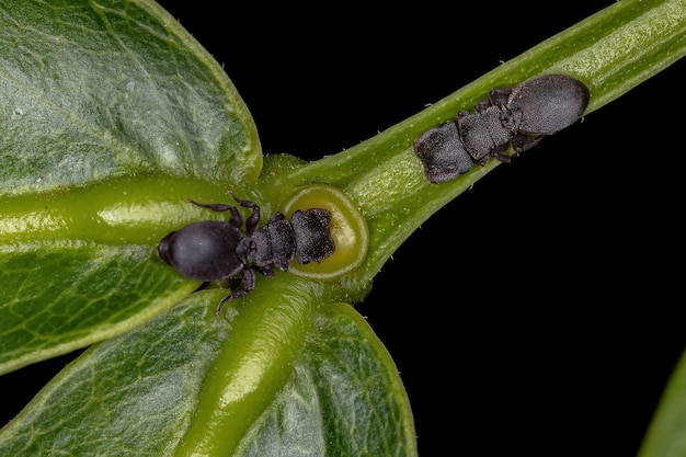 Small adult black turtle ants of the genus cephalotes eating on the extrafloral nectary of a plant