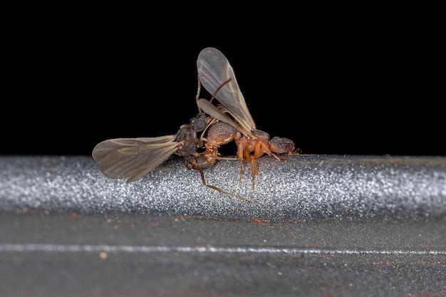 Small adult fungus-growing ants of the genus cyphomyrmex coupling