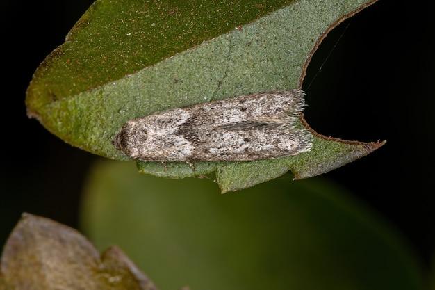 Малая взрослая моль отряда чешуекрылых