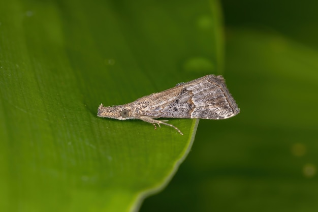 Small adult  moth of the order lepidoptera on a leaf