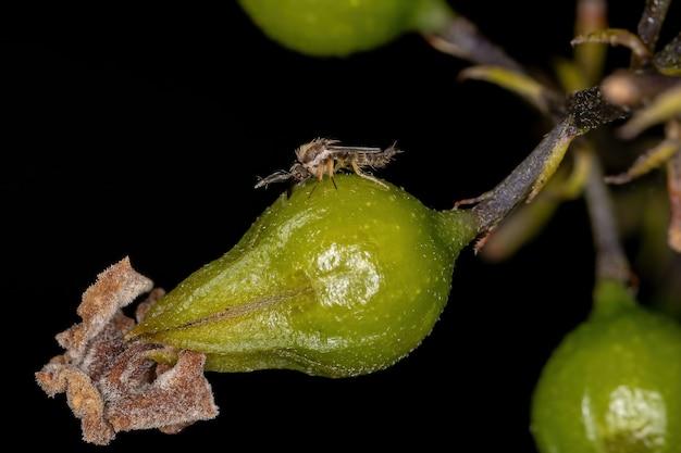 Small adult nematoceran fly of the suborder nematocera