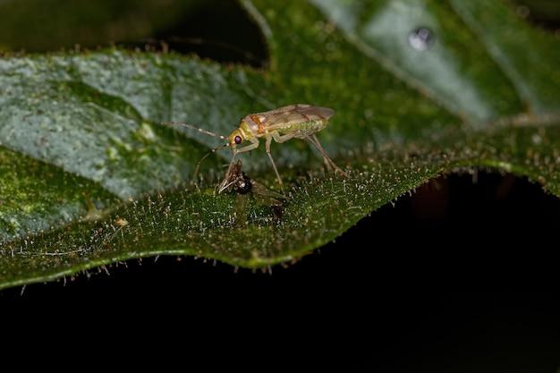 Small adult predator bug of the family miridae