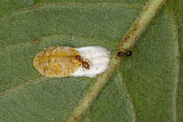 Small adult rover ant of the genus brachymyrmex and scale insects of the superfamily coccoidea