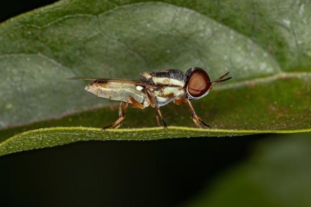 잎에 아과 stratiomyinae의 작은 성인 군인 파리