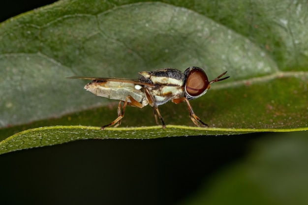 Small adult soldier fly of the subfamily stratiomyinae on a leaf