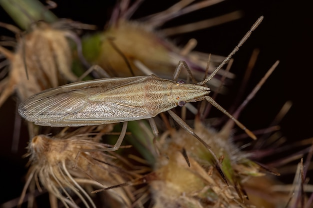 Small adult stink bug of the family pentatomidae