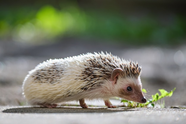Small african hedgehog pet on green grass outdoors on summer day. keeping domestic animals and caring for pets concept.