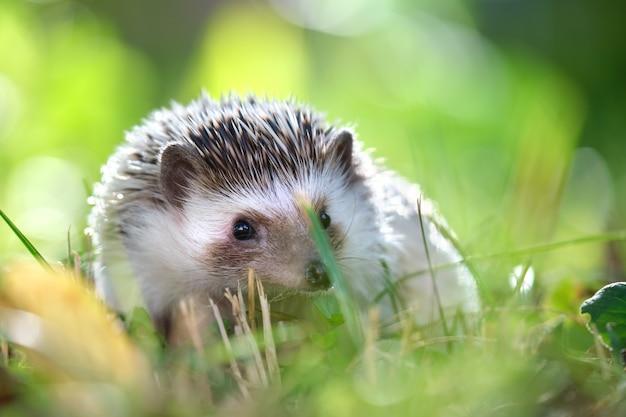 여름날 야외에서 푸른 잔디에 작은 아프리카 고슴도치 애완 동물. 가축을 기르고 애완동물을 돌보는 개념.