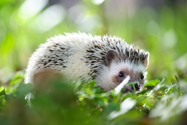 Маленький африканский ежик на зеленой траве на открытом воздухе в летний день. содержание домашних животных и концепция ухода за домашними животными.