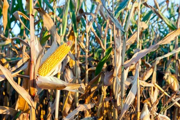 Small agricultural field where maize is grown. autumn season, the corn is ripe and ready for harvest. photo taken closeup with a small depth of field.